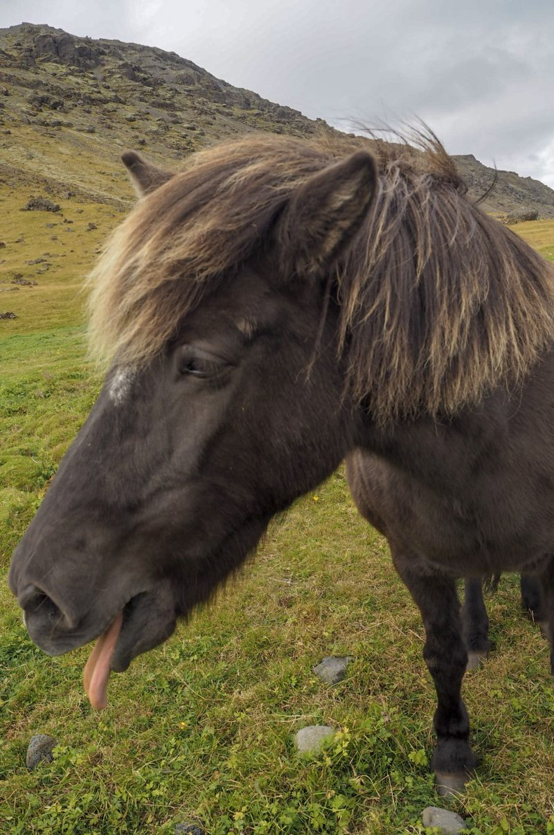 Icelandic horse sticking his tongue out
